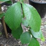 FL 506 Foliage 1