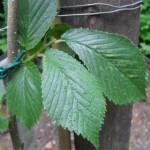 FL 506 Foliage 2