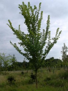Lutece elm, Great Fontley Farm, Hants (Ptelea)