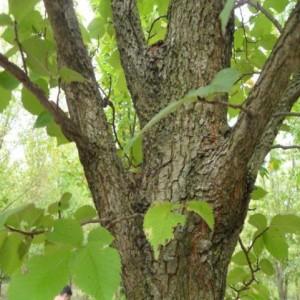 Morfeo Branching and Bark