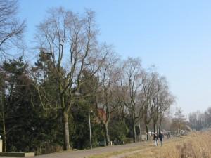 2-Ulmus-hollandica-Christine-Buisman-amsteldijk-amsterdam-030223h-